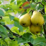 New Study reveals that the Middle- aged individuals eating pears can see improvement in blood pressure and vascular function
