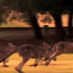 About 1900 Kangaroos to be culled by Australia for environment reasons