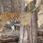 Mowgli land- Pench National Park's over 550 trees proposed to be cut down for Tiger Safari